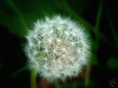 If Dandelions were hard to grow, they'd be welcome in every yard!!-favorite quote