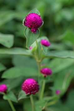 Globe amaranth, a.k.a gomphrena, comes in a variety of colors, some saturated.