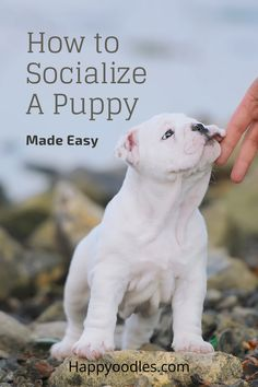 Socializing your puppy is one of the most important things you can do for them. But puppy socialization checklists can be overwhelming. Join us as we go over easy ways you can start to socialize your puppy today. (#Puppytrainingmadeeasy, #Puppysocializationmadeeasy, #Howtosocializeapuppy, #puppytraining) Dog House Kit, Dog Food Delivery, Puppy Socialization, Puppies Tips, Puppy Training Tips, Doodle Dog, Dog Care Tips, Old Dogs, Dog Behavior