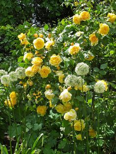 Yellow English rose | 'Graham Thomas' with alliums