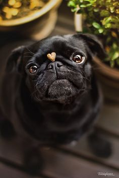 Pugs are so cute! Popular small dog breed, pug addiction, funny and cute dogs. Black Pug Puppies, Cute Puppies, Cute Dogs, Dogs And Puppies, Doggies, Terrier Puppies, Bulldog Puppies, Boston Terrier, Pets