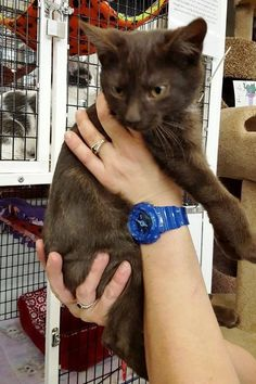 Mocha is a handsome little man that came to AOH from Leech Lake Legacy. He is 3 months old. He is a very rare chocolate brown color. Mocha is available for adoption at the Elk River Chuck & Don's Pet Food & Supplies.