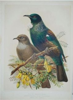 """Peter Brown, New Illustrations of Zoology, 1766.Buller, Birds of New Zealand, 1888. """"I have watched this Tui of mine, fly high up in the sky and then take a straight dive down, its wings close to its body as if diving into water. It is such an expression of joy, the bird full of nectar from the banksii or the tiny flowers of the Karo, full of the joys of life"""""""