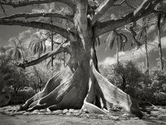Kapok Tree à Palm Beach (Floride) en 2004. Les kapoks vivent dans les  forêts tropicales, mais la photographe a trouvé celui-ci en Floride sur un domaine privé.