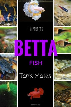 Ready to add a tank mate for your betta fish today? Make sure you read this guide first :)