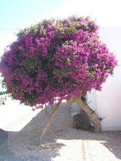 Las Dalias. Ibiza