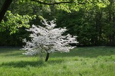 Lone Dogwood tree