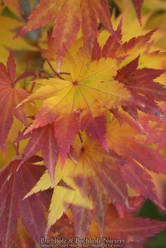 Acer shirasawanum 'Jordan' - Japanese Maples › Shirasawanum   Maplestone Ornamentals