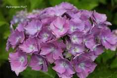 The largest blooms we know Exhibited in France in 1928, this hydrangea features a massive flower head with deep pink to purple blooms which can be 8 to 9 inches wide. The individual curly florets that make up the flower head are 2 to 2 1/2 inches in size. A single dried flower head can look like a bouquet all by itself. Paris presents its beautiful blooms in a profuse display on a sturdy framework of nicely contrasting foliage.