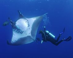 Photo by @thomaspeschak Marine biologist Guy Stevens @mantatrust interacts with an an oceanic manta ray in the waters off Mexico's Revillagigedo Archipelago. These large rays are incredibly curious and readily check out divers at close range. This very trusting behavior was first noted more than 20 years ago and persists to this day.  Shot on assignment for @natgeo magazine for an upcoming story on the marine protected areas of Baja California and Pacific Mexico. For more photographs from…
