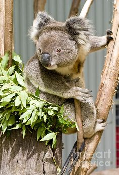 Title:  Koala  Artist:  Steven Ralser  Medium:  Photograph - Photography