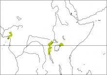 Gray-chested Kakamega (Kakamega poliothorax)