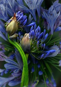~~Agapanthus in Abundance by Dianne English~~