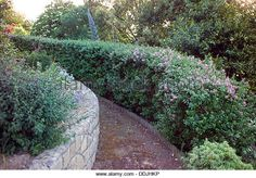 clipped escallonia hedge Fulham, Farm Gardens, Hedges, Landscape Architecture, Garden Design, Bb, Design Ideas, Chicken