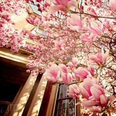 I'd love to have a magnolia tree in my backyard, that is when I'll have a backyard
