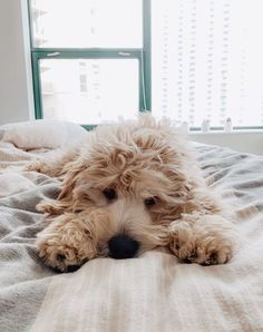 Here is the new portion of Goldendoodle memes😆! Get a positive charge to make your mood better😀! Really Cute Puppies, Cute Baby Dogs, Cute Little Puppies, Cute Dogs And Puppies, Baby Puppies, Cute Baby Animals, Animals And Pets, Doggies, Mini Goldendoodle Puppies