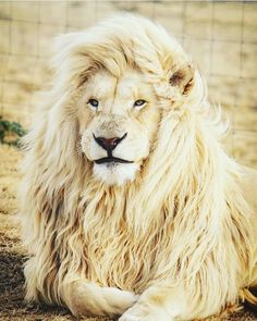 Lion blanc - Discreet Tutorial and Ideas Jungle Animals, Cute Baby Animals, Animals And Pets, Wild Animals, Lion Images, Lion Pictures, Daily Pictures, Animals Images, Pictures Images