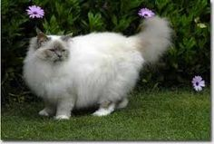 birman cats must have 4 white gloved feet