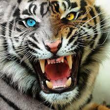 Resultado de imagen de imagenes de tigres de bengala