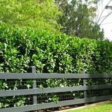 Viburnum Emerald Lustre for future hedging needs