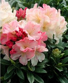 Rhododendron yakushimanum Percy Wiseman.A compact, free-flowering evergreen shrub with large ruffles of cream and pink flowers in spring. Eventual size 2m.