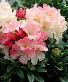 Rhododendron yakushimanum Percy Wiseman - Présentation