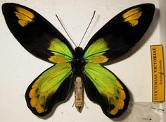 Queen Victoria's Birdwing is a birdwing butterfly of the family Papilionidae, found in the Solomon Islands and Papua New Guinea