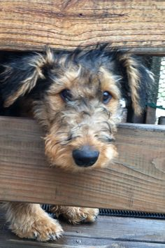 Airedale. My silly puppy, Hildi