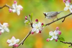 """~ I LoVe Apple Blossom  ~ - ~ I LoVe Apple Blossom   我愛蘋果花 ~     You can find Fuyi on: <a href=""""https://www.facebook.com/fuyi.chen.9"""">My Facebook page</a>   <a href=""""http://www.flickr.com/photos/fuyi/"""">My Flickr Page</a>   鳥類名稱 Bird Name: 冠羽畫眉 (尖頭仔) / Formosan Yuhina.(Endemic Birds of Taiwan 台灣特有鳥). 學名 Scientific Name: Yuhina brunneiceps. 科名 Family:畫眉科(Timaliidae). 鳳鶥屬(Yuhina).  圖像大小 Image Size : 3872 x 2592 pixel"""