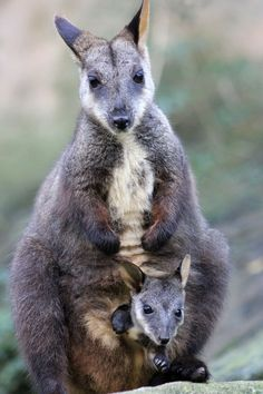 Brush-tailed Rock-Wallaby & Joey