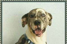 Save Sinatra  - This Great Dane needs a lifesaving surgery. Please repin or click link to donate!