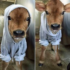 """Local dairy farm posted a picture of their newest baby cow. This is how they kept her warm."" -thehappyninja"