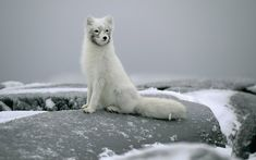 animals in winter | HD animal wallpaper of a beautiful arctic fox sitting on a big rock in ...