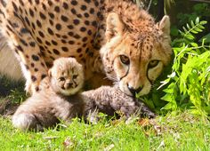 New Cheetah Mom Namoja Has Her Paws Full With Quintuplets! See and learn more today at ZooBorns: http://www.zooborns.com/zooborns/2013/05/new-cheetah-mom-namoja-has-her-paws-full-with-quintuplets.html