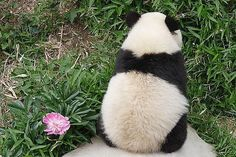 Panda is mad and sorry at the same time All About Animals, Animals And Pets, Cute Animals, Panda Love, Cute Panda, Panda Chow Chow, Panda Birthday Party, Baby Animals Pictures, Panda Bears