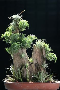 Tillandsia - All For Herbs And Plants Water Plants, Cool Plants, Cactus Plants, Hanging Plants, Indoor Plants, Indoor Herbs, Indoor Gardening, Air Plants Care, Planting Succulents
