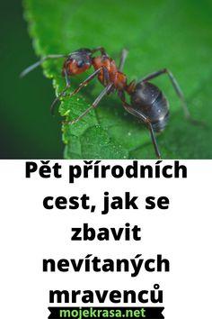 Mravenci jsou jistě pracovitý, inteligentní a užitečný hmyz, pokud se ale nastěhují do vašeho bytu, dokážou být velice nepříjemnými společníky. Vejdou se i do malé skulinky a následně vytvoří cestičku vedoucí do vaší spíže, ve které vždy objeví něco k snědku, a tak ji opouštějí jen velice neradi. Ani jejich přebytek na zahradě není z hlediska úrody žádoucí, ať už mluvíme o jejich apetitu, kdy se s chutí pustí do ředkviček i jahod, nebo o jejich chovu mšic. #dum #zaharda #tipy #triky Gardening, Flowers, Household, Lawn And Garden, Royal Icing Flowers, Flower, Florals, Floral, Horticulture