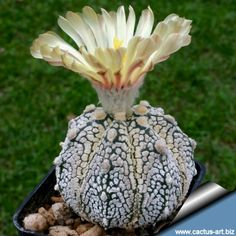 Astrophytum hybrid SK-CAP (A. astereias cv. Superkabuto x A. capricorne)