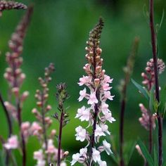 Torskemund, Purpur-, rosa 'Canon J. Went' Linaria purpurea