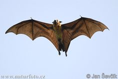 indian-flying-fox--pteropus-giganteus-3.jpg