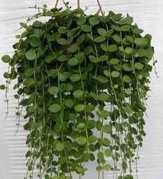 ŽIVÉ ROSTLINY | D | Dischidia nummularia - závěs | POKOJOVKY.cz - orchideje, pokojové rostliny, tilandsie, masožravé rostliny, palmy, kapradiny