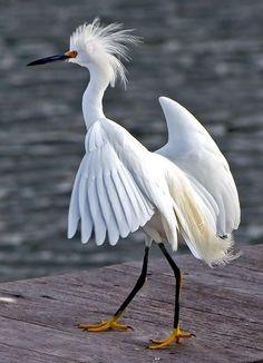 Snowy Egret - Photo Amazing World beautiful amazing
