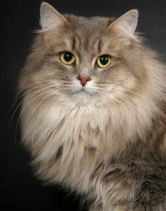 Siberian cat Почему сибирские кошки не вызывают аллергии.. | Animal Planet | Baku, Azerbaijan