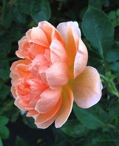 ~~August Rose 09 by Joyce Dickens~~