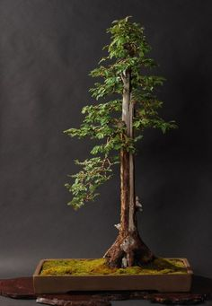 Thuja bonsai: