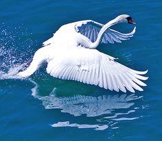 noch'n schwan / another swan