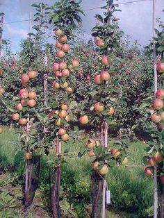 Dwarf Fruit Trees, Vegetable Gardening, Vegetables, Dream Homes, Gardens, Horticulture, Backyard Farming, Vegetables Garden, Vegetable Garden