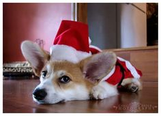 You better be good…..Santa Corgi is coming to town!