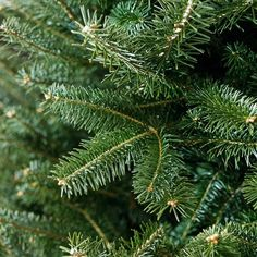 Balsam Fir - zone -Native to areas of Northern North America, balsam fir is a top-notch choice because of its wonderful woodsy scent, dark green needles, and purplish-blue cones Balsam Fir Tree, Evergreen Trees, Trees And Shrubs, Trees To Plant, Plant Leaves, Spruce Tree, Blue Spruce, Christmas Tree Varieties, Blue Star Juniper