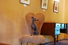 My Italiangreyhound.